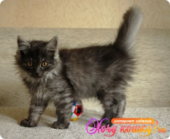 Окрас кошки черный дым фото