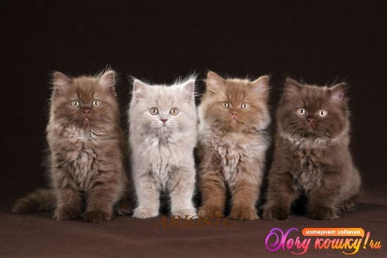 Коты для вязки британцы спб